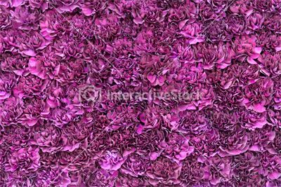 Kwiecisty fiolet Stock photography. #blossom #purple #flowers #spring