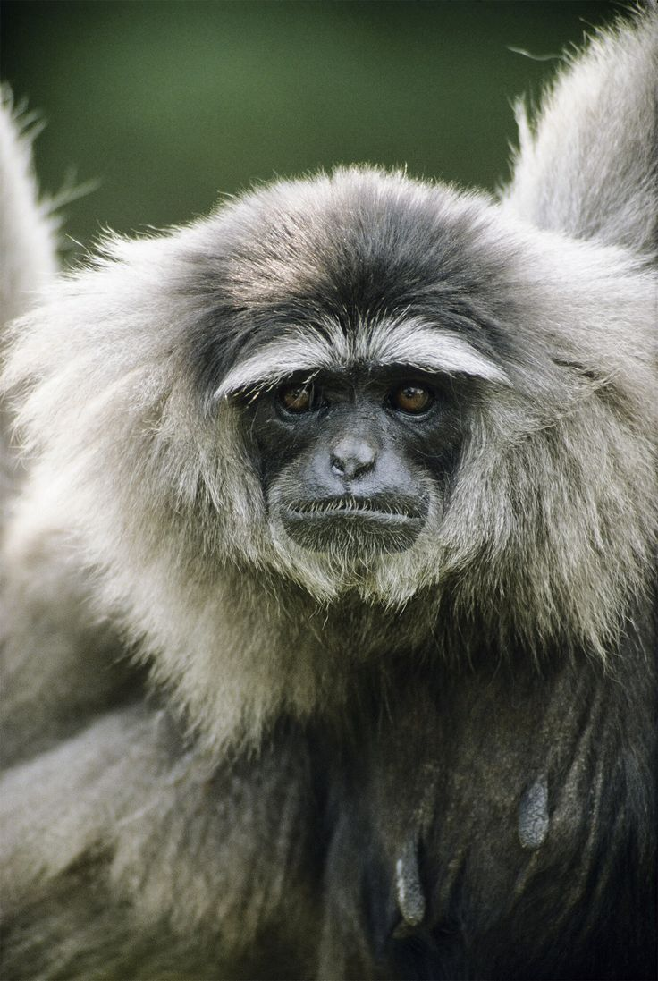 the evolution and adaptations of the tropical rainforest primates the gibbons Explore the 7 tropical rainforest animal adaptations that allow them to survive home biology basics one example of this adaptation is the spider monkeys - adaptations of animals in the tropical rain forest.