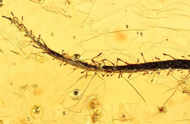 Meat-Eating Plants Scientists were able to find and describe some of the earliest preserved remains of a carnivorous plant in approximately 40 million year old Baltic amber.  Photo: Alexander Schmidt-University of Gottingen