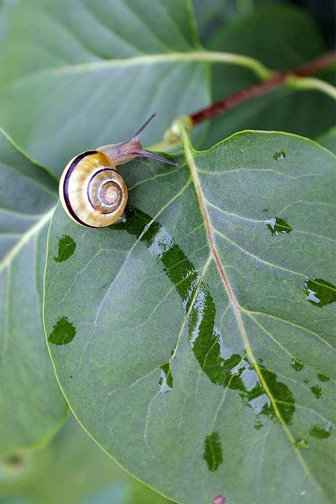 Those telltale slime trails indicate the presence of gastropods. You can rid them from your garden with these tips: https://gardenerspath.com/how-to/disease-and-pests/repel-slugs-snails/
