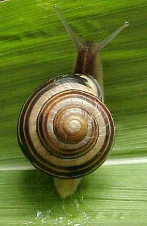 Pin by Carol Grentzel on Fibonocci Snail, What do snails