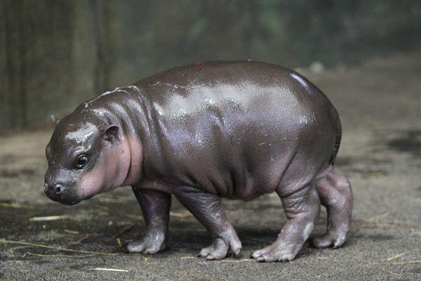 Bébé hippopotame nain