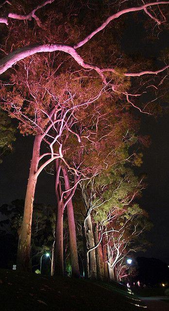 Lemon scented gum trees - Kings Park - Perth, Australia