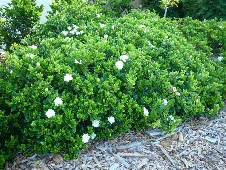 Gardenia Augusta Florida. 1.2 x 1.5. Semi shade to full sun. Low to medium maintenance. Mildly sensitive to frost. Long flowering season