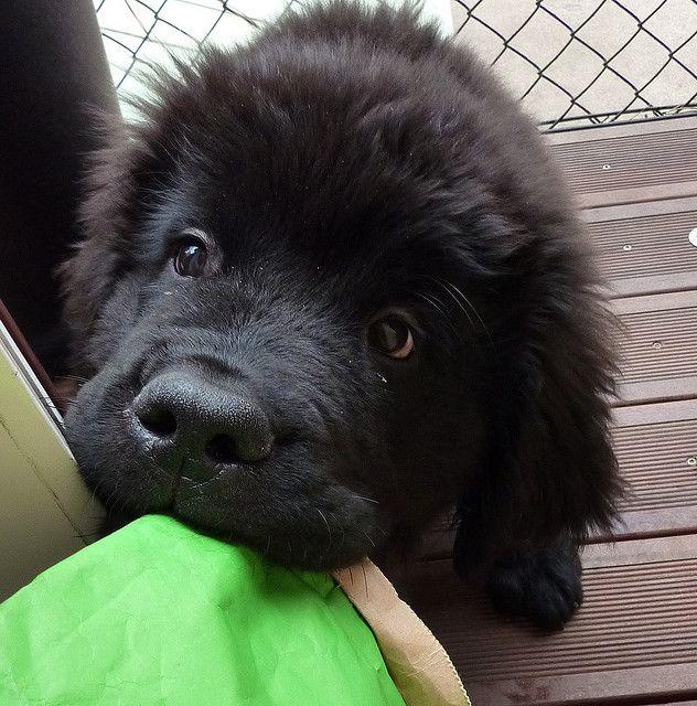Newfoundland puppy; via Flickr. so adorable