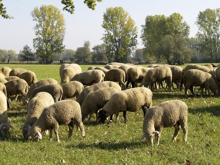 Wypas owiec w Józefowie! http://puszystaowca.pl/wypas-owiec-jozefow/