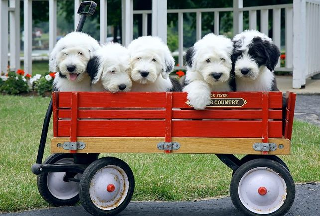 OLD ENGLISH SHEEPDOGS another I always wanted