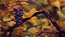 Vitis vinifera (common grape vine)