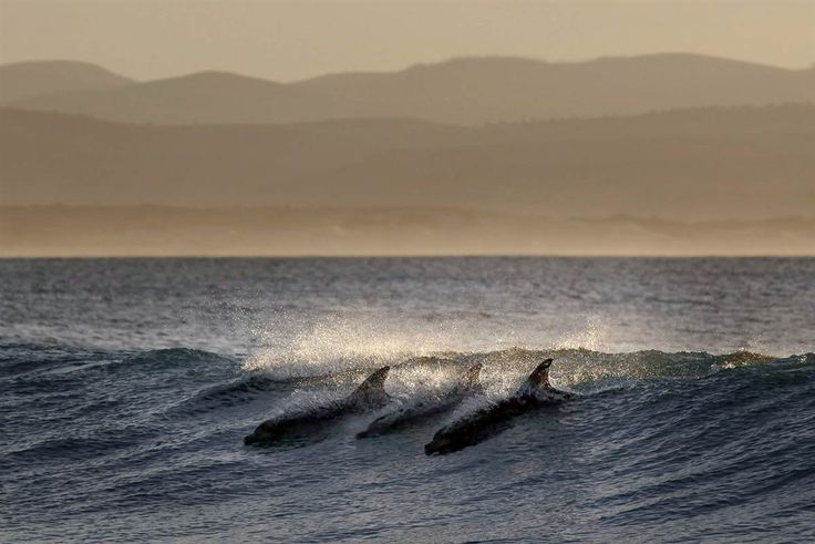 Surf's up !! Dolphins surf along a wave during day three of the Association of Surfing Professionals World Tour event in Jeffreys Bay, South Africa. by Nic Bothma / EPA