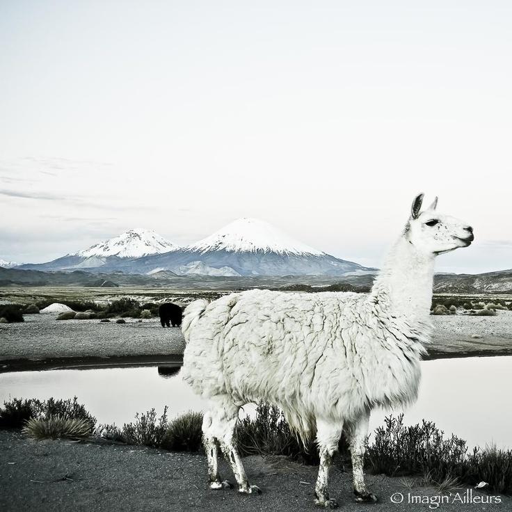 lama & parinacota