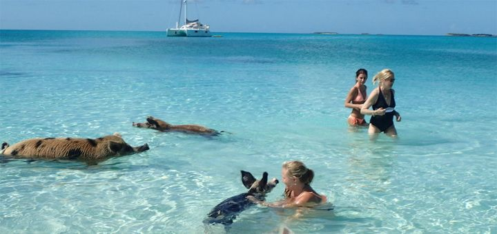Плавающие свиньи на Багамах. Остров Свиней - http://pixel.in.ua/archives/19108