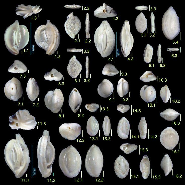 FIGURE 8. Family Spiroloculinidae and Hauerinidae. 1. Adelosina schreibersii (d'Orbigny), 2, 3. Ammomassilina alveoliniformis (Millett), 4. Cycloforina rugosa (d'Orbigny), 5, 6 . Massilina minuta Collins, 7, 8. Quinqueloculina akneriana d'Orbigny, 9, 10. Quinqueloculina auberiana d'Orbigny, 11. Quinqueloculina sagamiensis Asano, 12, 13. Quinqueloculina seminulum (Linnaeus), 14, 15. Quinqueloculina starkeri Loeblich and Tappan, 16. Pyrgo murrhina (Schwager)