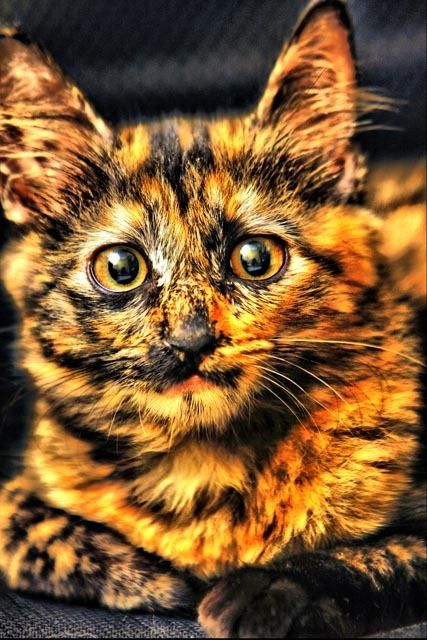Candy Corn kitty. beautiful <3.                                                                                                                                         Candy Corn Kitty!! :)