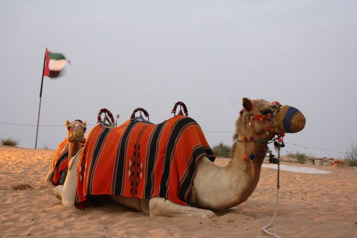 15 best camel desert safari dubai images on pinterest camels morning safari with camel riding will give you the opportunity to view the deserts and also altavistaventures Choice Image