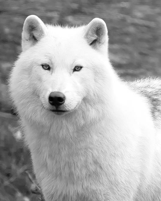 Wolf Print, Black And White Nature Photography, White Wolf