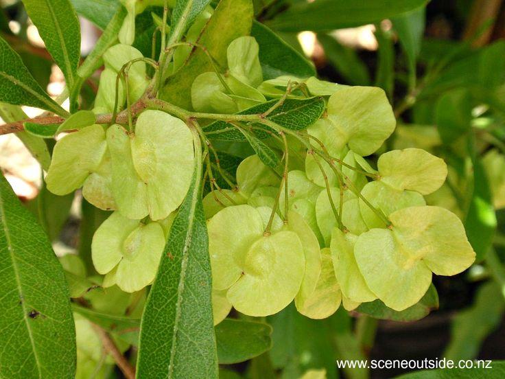 Dodonaea viscosa seed capsules December in New Zealand. Read more in the plant guide of my website http:www.sceneoutside.co.nz