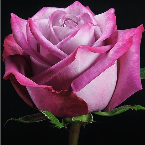 06145A__Rose_Moody_Blues_40_cm_.jpg (500×500)