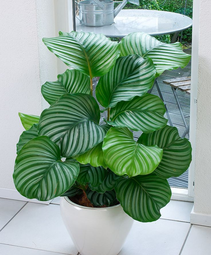 Calathea product photo