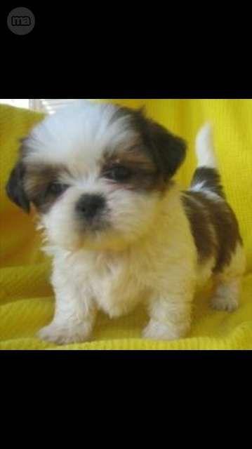 MIL ANUNCIOS.COM - Toy. Compra-venta de perros toy. Regalo de cachorros..210 euros