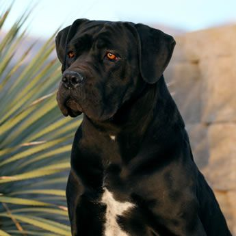 About Time Cane Corso Italiano - Available for Sale, Dogs & Puppies