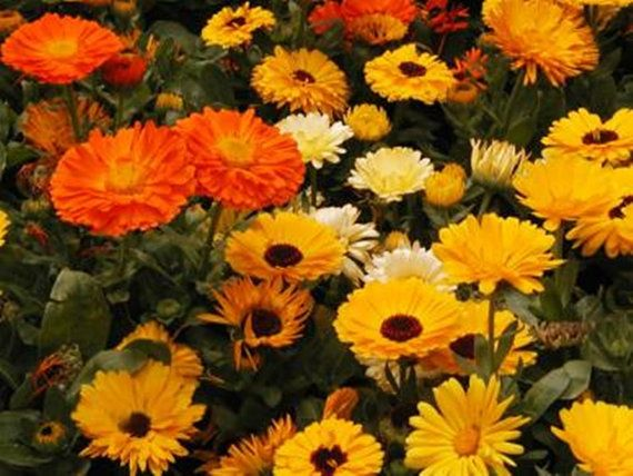 Calendula Medicinal Heirloom Herb Seeds Edible by BoxGardenSeeds