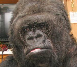 Devastada Gorila Al Conocer Muerte De Robin Williams #Video