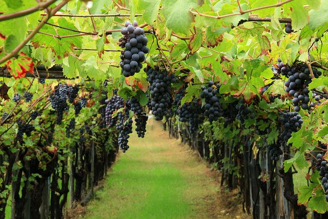 #harvest at Tenuta #Torciano. #party #winery #wine