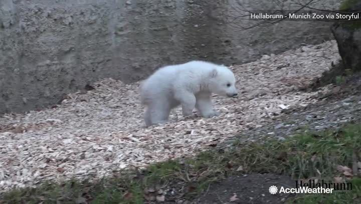 A 14-week-old female polar bear cub at Munich's Hellabrunn zoo ventured outside for the first time on the morning of Feb 24.