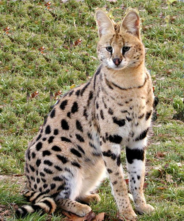 1000+ Images About Serval Cats On Pinterest
