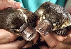 ornithorynques bébés