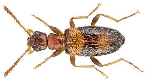 Anthicus crinitus Laferte, 1849