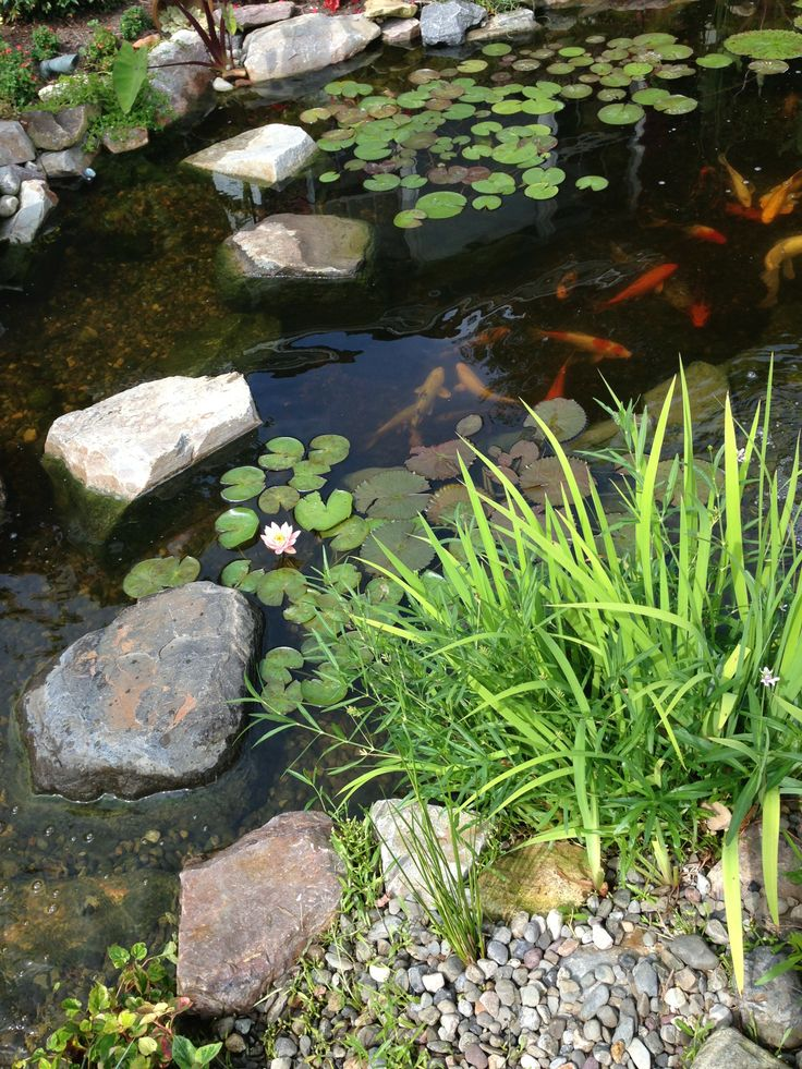 Koi Fish In A Beautiful Backyard Pond