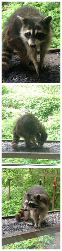 #raccoon #wildlife #hayesarboretum #birdwatchingroom