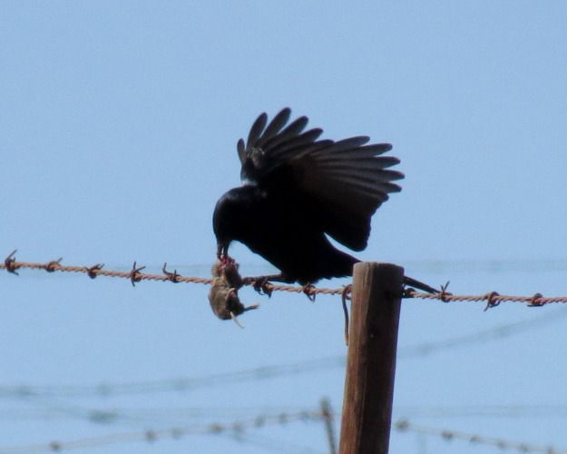 Fork-tailed Drongo eating a mouse