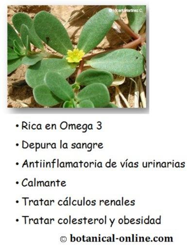 Propiedades verdolaga http://www.botanical-online.com/medicinalsportulaca.htm