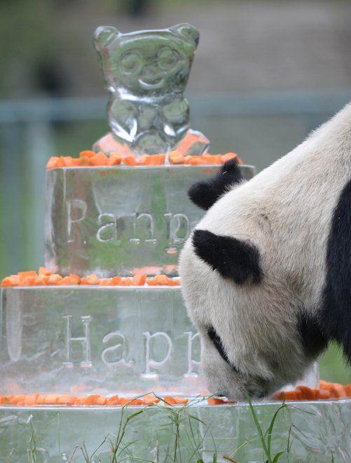 Si chiamava Pan Pan e aveva 31 anni, un'età corrispondente a circa 100 anni per l'uomo. Il maschio di panda gigante più vecchio del mondo viveva nel Sichuan, provincia sud occidentale della Cina. Era malato di cancro. Durante la sua lunga vita l'esemplare ha avuto molti cuccioli e lasciato una notevole progenie: circa 130 discendenti che corrisponderebbero al 25% della popolazione mondiale di questa specie in cattività  VIDEO: la festa per i 30 anni