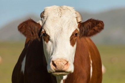Bartne. Wioska w gminie Sękowa. Miejscowy rolnik jak co wieczór sprowadza z pastwiska swoich 10 mlecznych krów. Jedna niespokojna. Hodowca niczego nie podejrzewa. Dziwne objawy rolnik zrzuca na zbliżającą się u niej ruję.