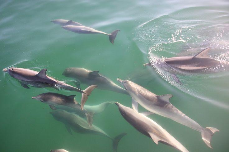 Schwimmen mit Delfinen in Adelaide, Australia