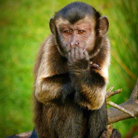 Monkeys Stay Away From Mean People: When does a monkey turn down a free treat? When it is offered by a selfish person, apparently.    Given the choice between accepting goodies from helpful, neutral or unhelpful people, capuchin monkeys (Cebus apella) tend to avoid individuals who refuse aid to others, according to a study published today in Nature Communications.
