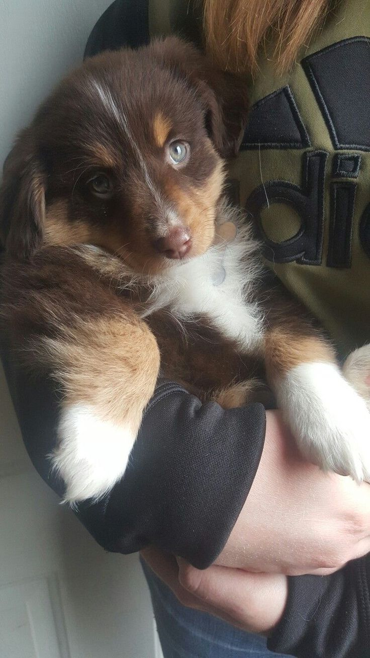 Female 8 week old red tricolor mini australian shepherd ♡ Koda ♡ find her on instagram. @koda.and.the.bandit