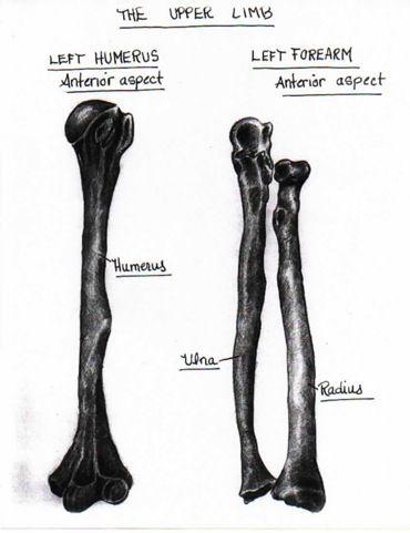 charcoal drawing of bones