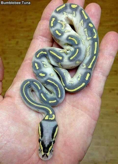 Pastel Highway python...love the name, love the markings.