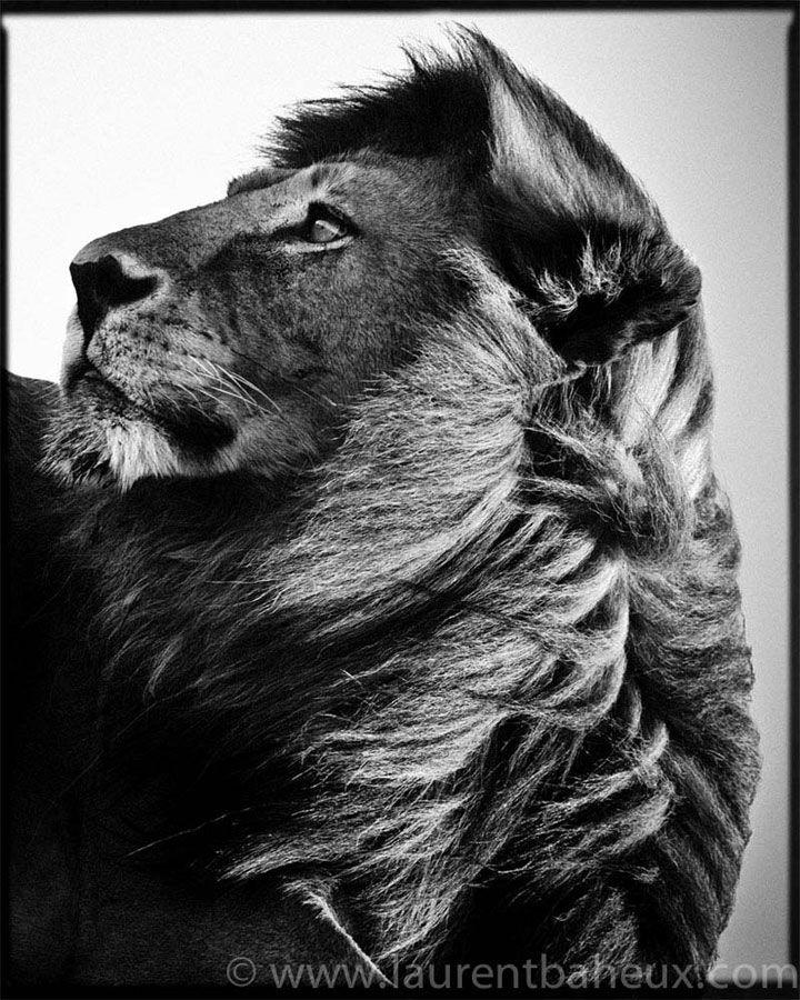 Terre des lions : les incroyables clichés d'animaux sauvages d'Afrique de Laurent Baheux | Buzzly