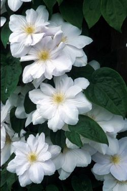 Great White Clematis - Madame Le Coultre- I would love to see this with my dark pink and red roses