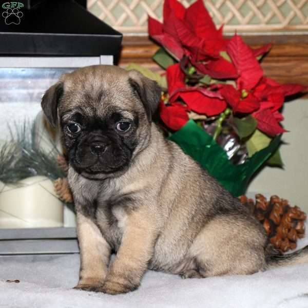 Miles Pug Mix Puppy For Sale In Pennsylvania Pug Mix Puppies