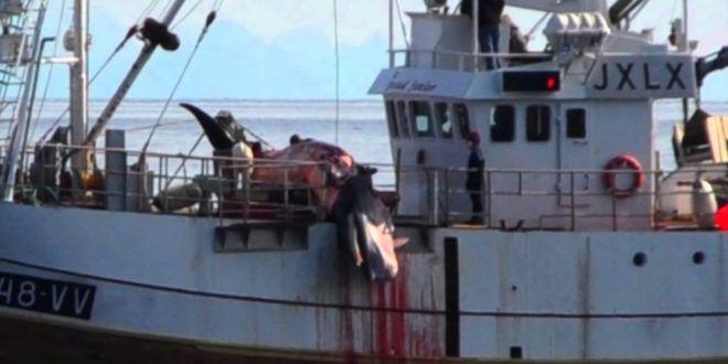Norvegia, ricomincia la caccia alle balene. Lega del Cane scrive all'ambasciatore