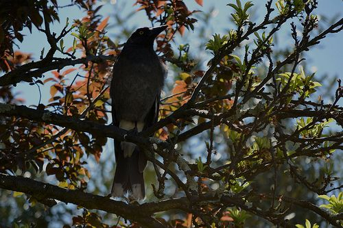 Pied Currawong in a tree