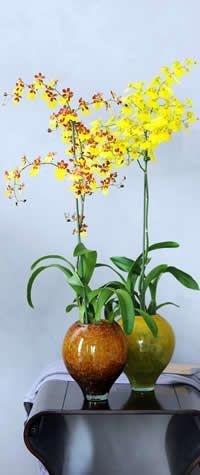 Tijgerorchidee Oncidium kamerplant - orchideeën in de huiskamer houden