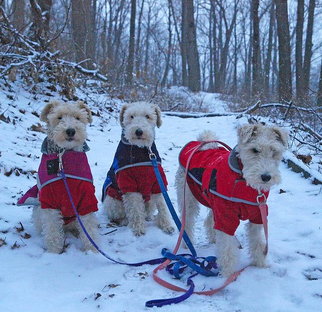 Three Wire Haired Fox Terriers sporting their winter coats.
