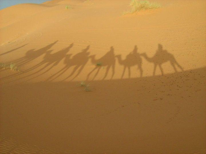 Dromedaries in the Sahara desert- Morocco